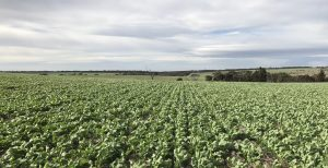 Canola With Twister